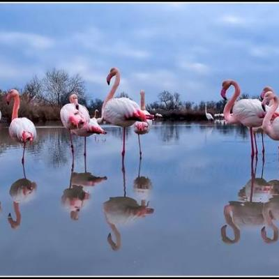 FLAMANTS 1veloc